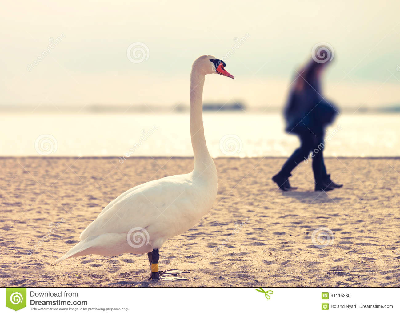 Curious swan watching couple on the beach
