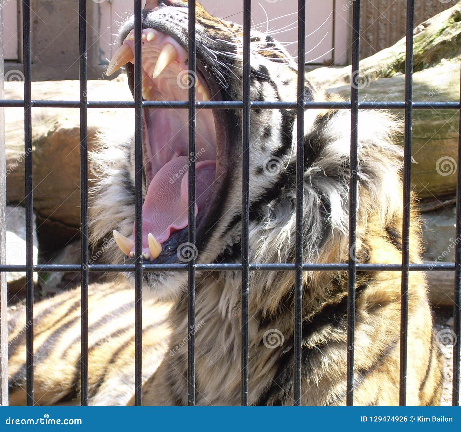 Vråla tigern bak stänger