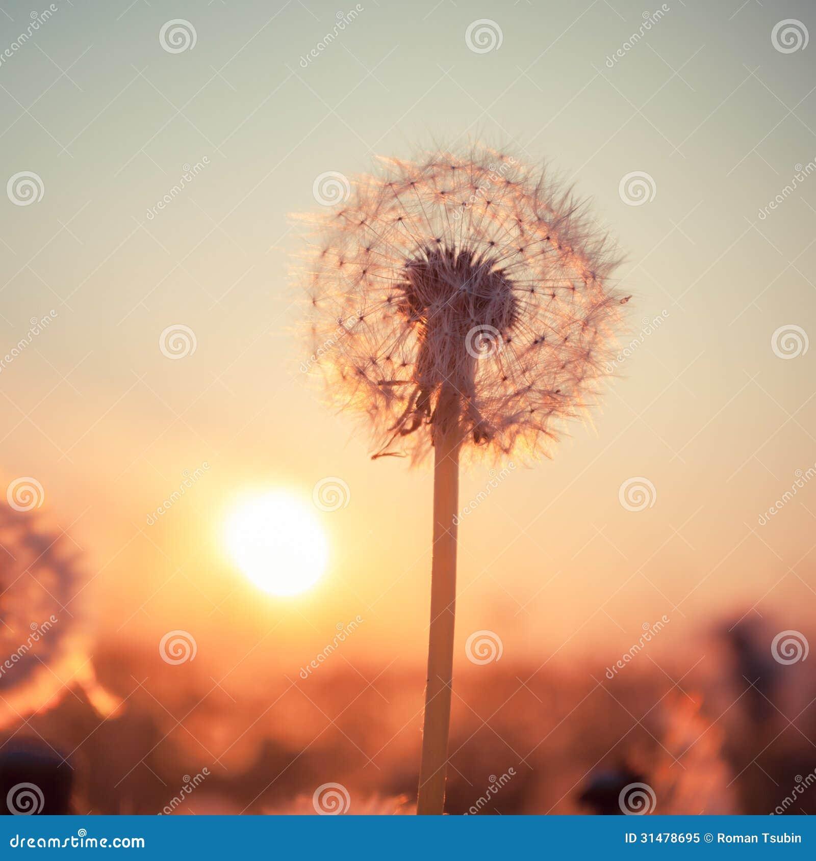 Vrai champ et pissenlit au coucher du soleil