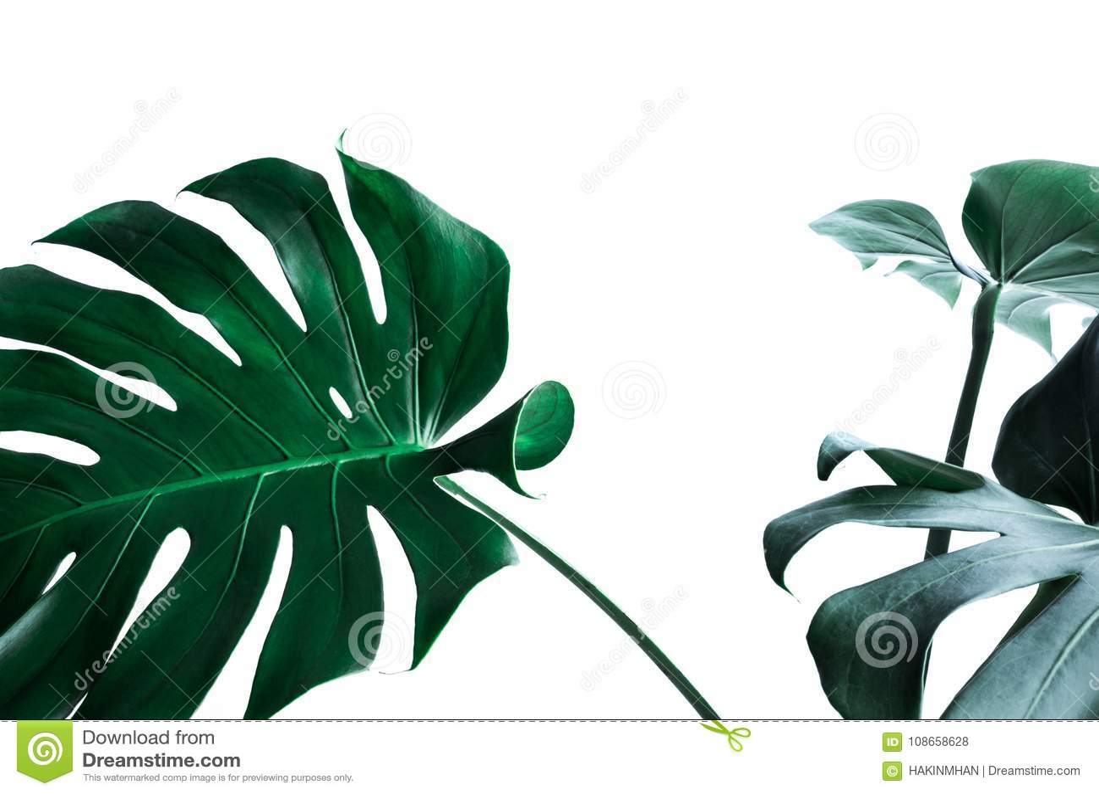 Vraies feuilles de monstera décorant pour la conception de composition Tropical,
