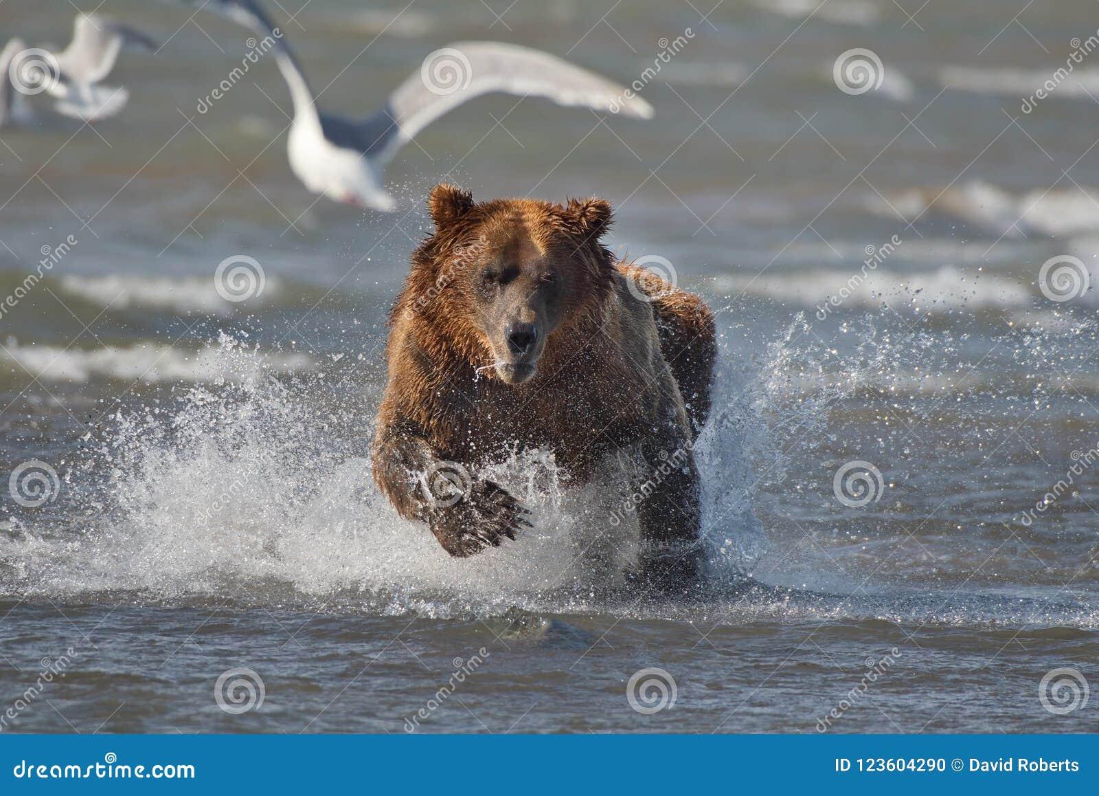 Vreedzame Kust Bruine grizzliy arctos van berenusus - - op KE
