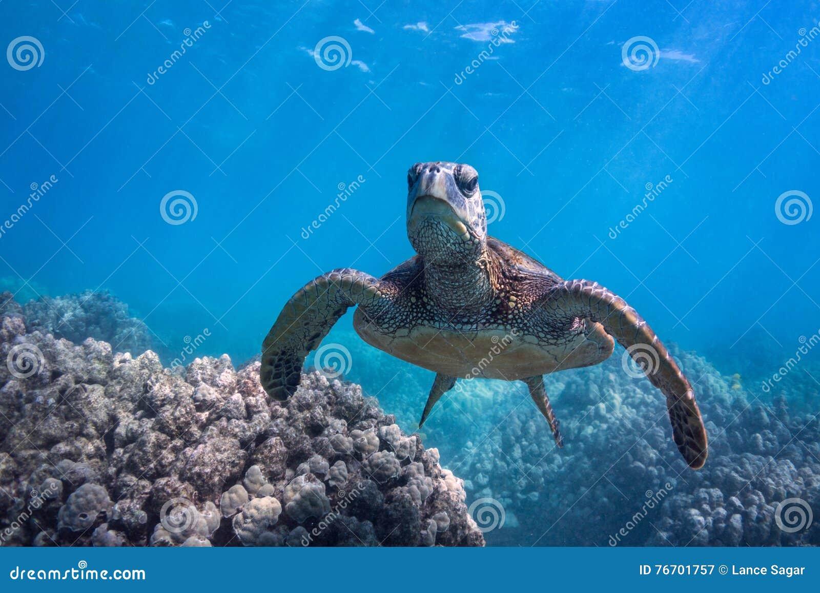 Vresig sköldpadda