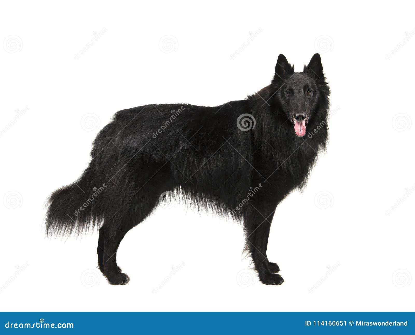 Vrij langharige zwarte Belgische geroepen herdershond groenendael