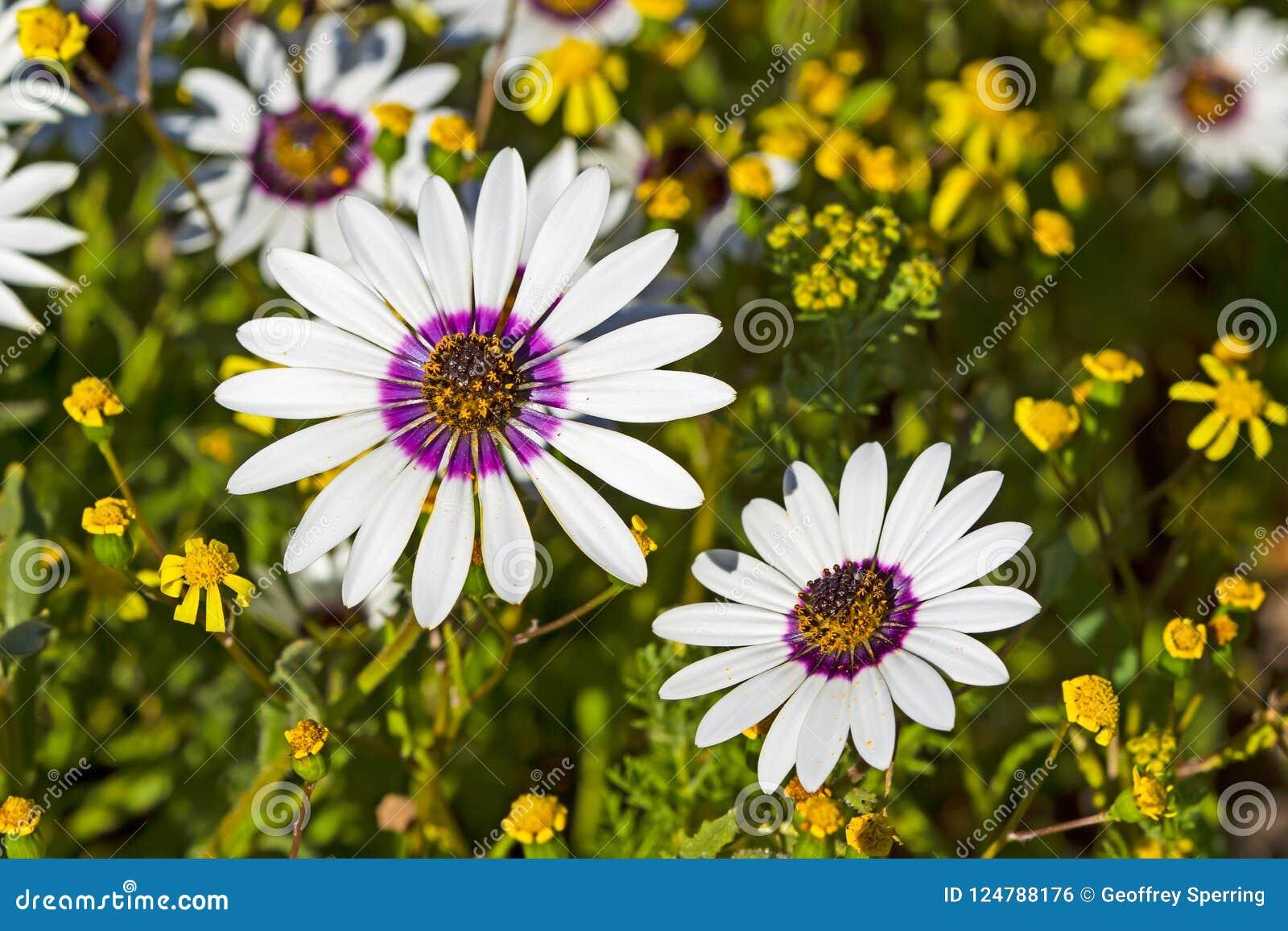 Vrij witte en purpere madeliefjewildflowers