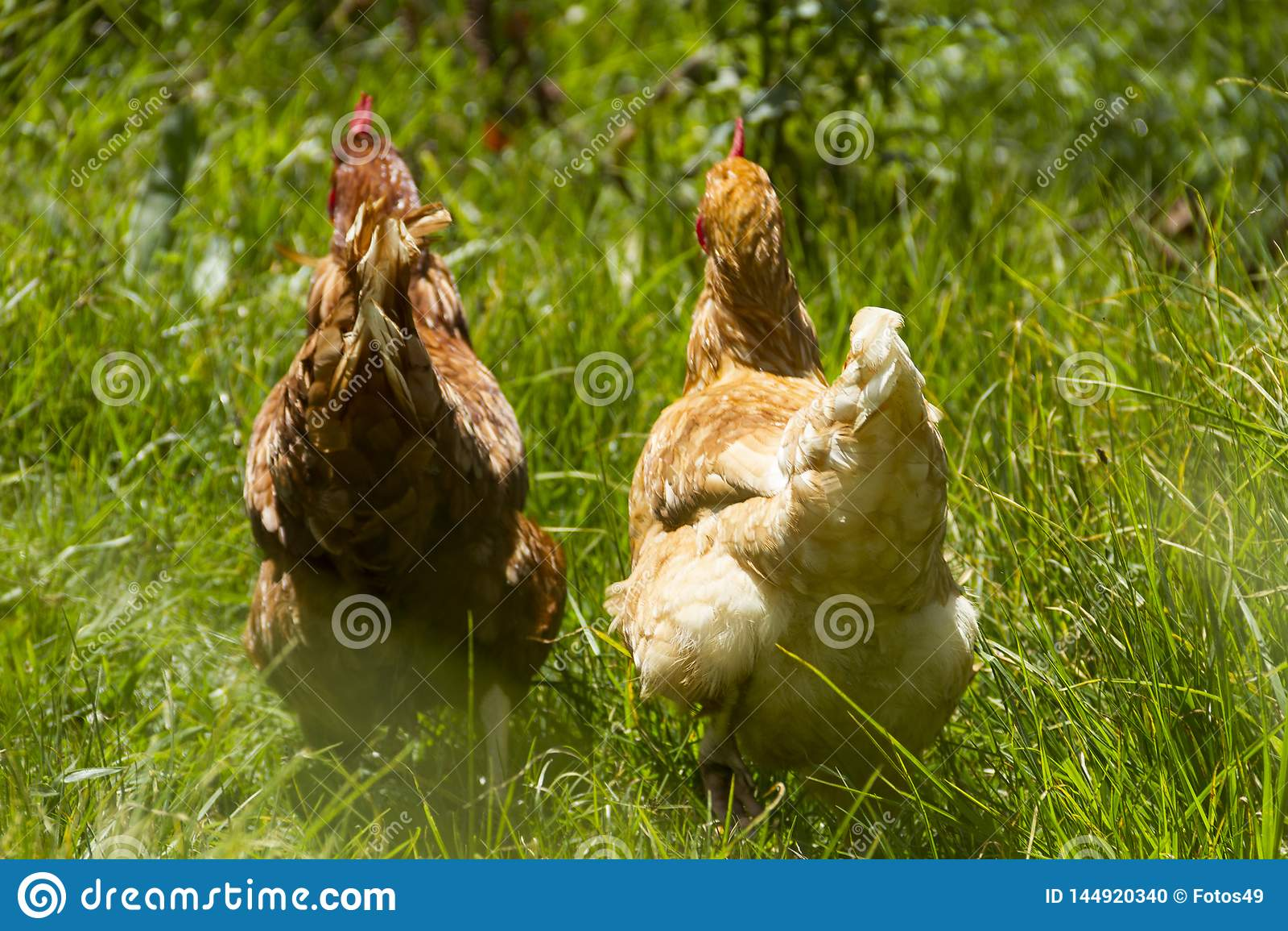 Vrije kippen die organische de zondag weiden van het eieren groene gras