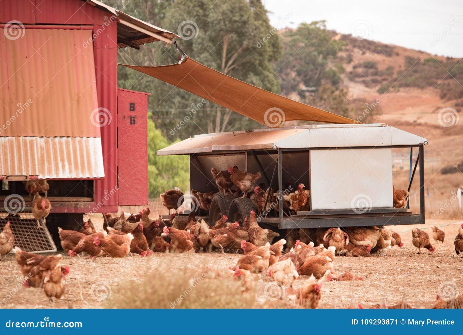 Vrije waaierkippen, gelukkige kippen die organische bruine eieren op duurzaam landbouwbedrijf in kippentractoren leggen