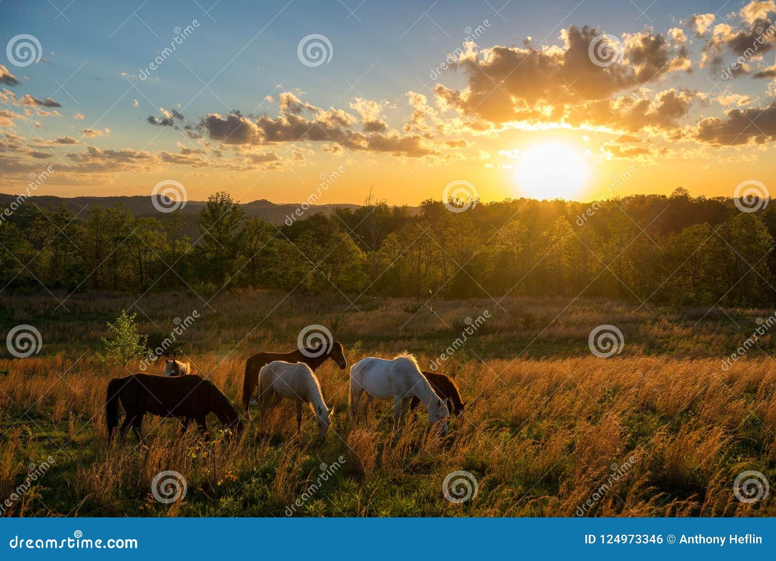 Vrije waaierpaarden, de zomerzonsondergang, Kentucky