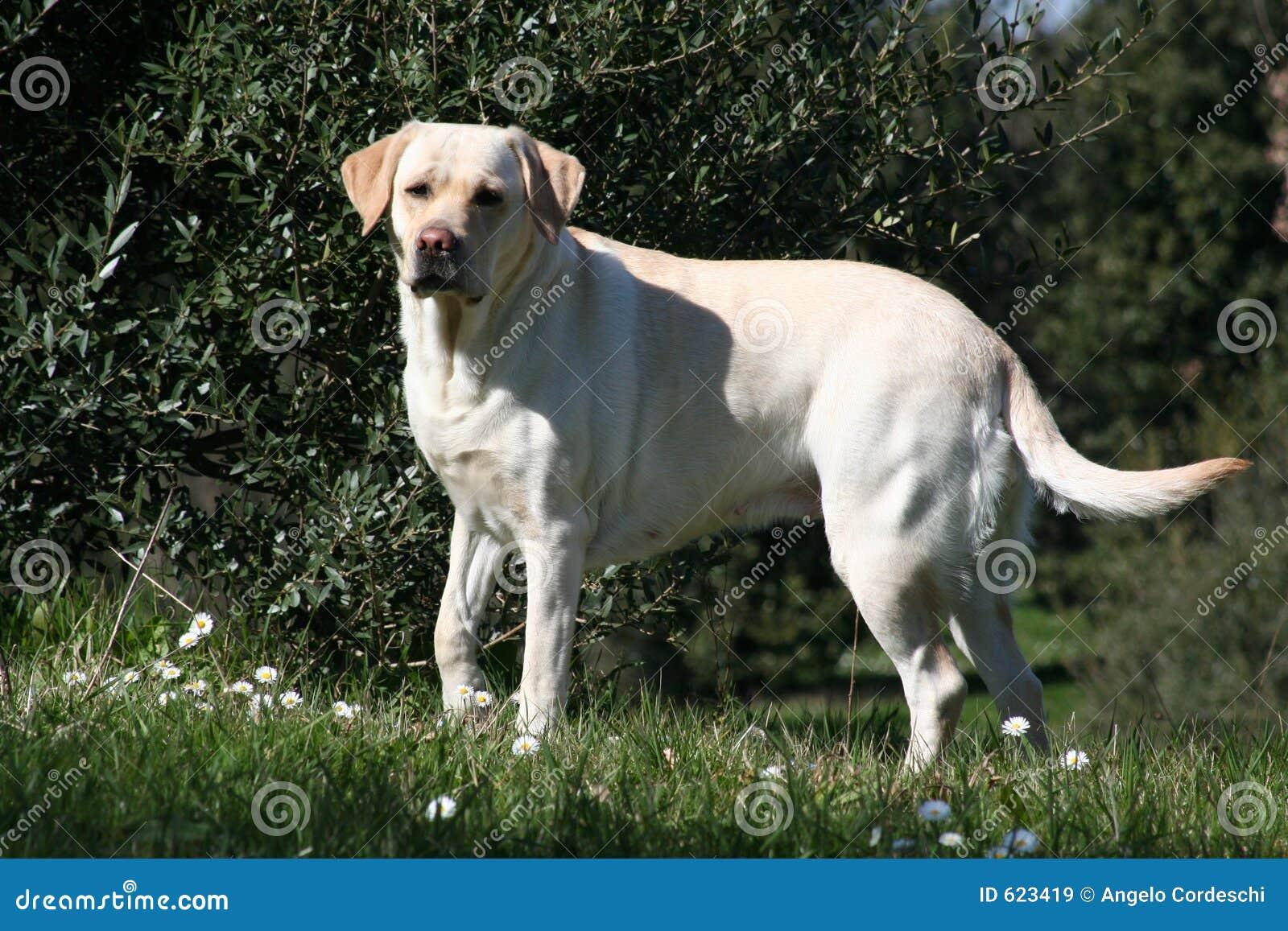 Vrouwelijk Labrador - Openlucht 02