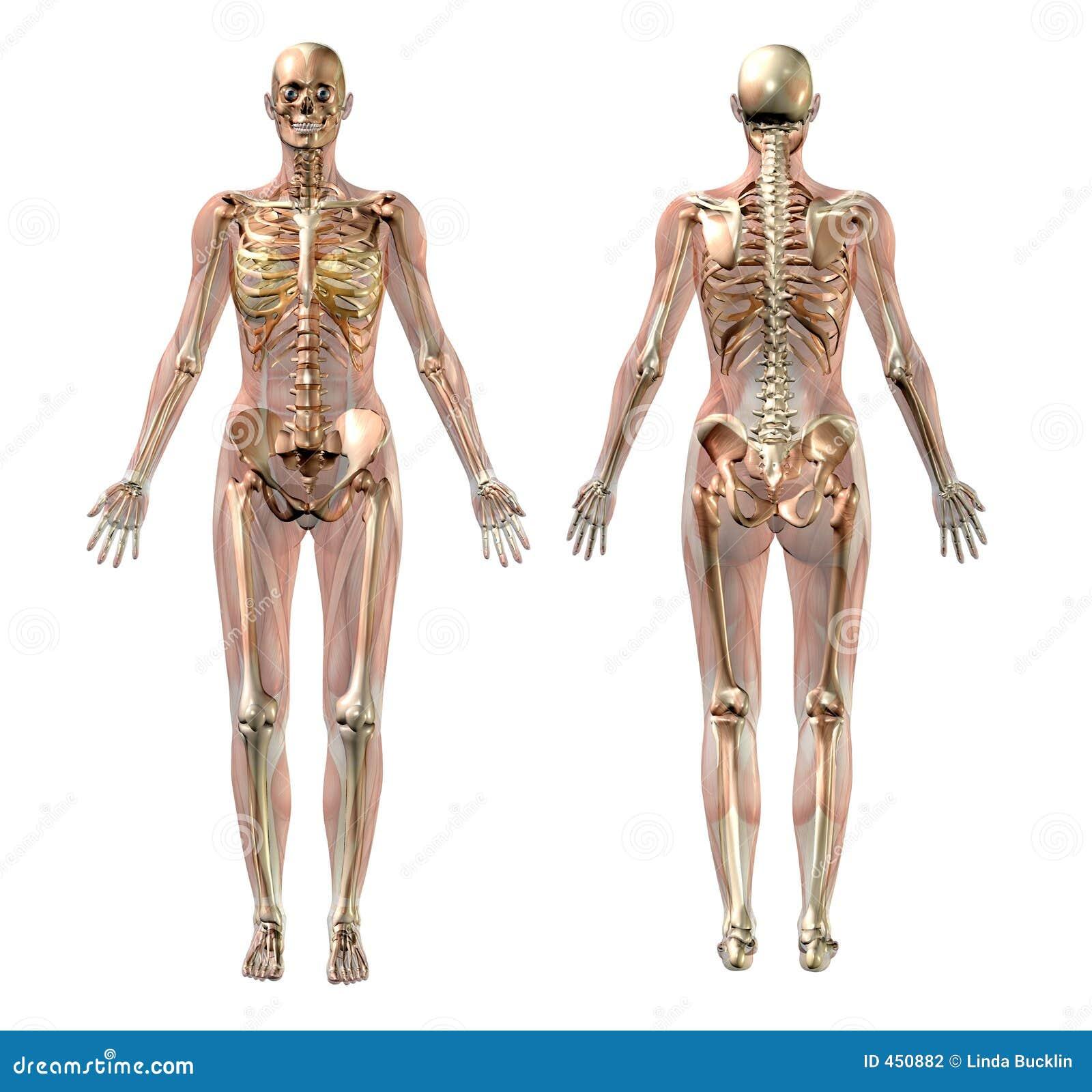 Vrouwelijk Skelet met Transparante Spieren - met het knippen van weg