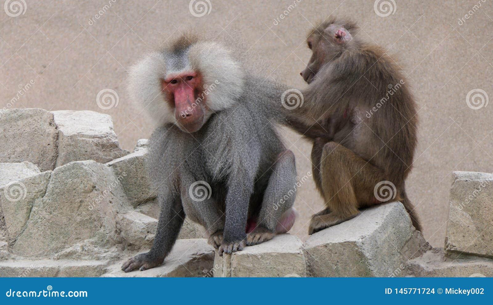 Vrouwelijke baviaan die een mannelijke baviaan verzorgen