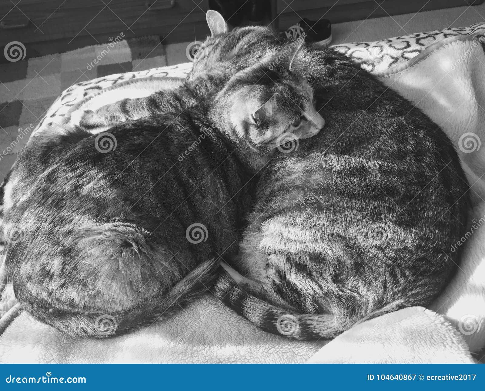 Download Vrouwelijke En Mannelijke Kat   Gestreepte Katnoteringen   Zwart-wit Stock Afbeelding - Afbeelding bestaande uit mannetje, broer: 104640867