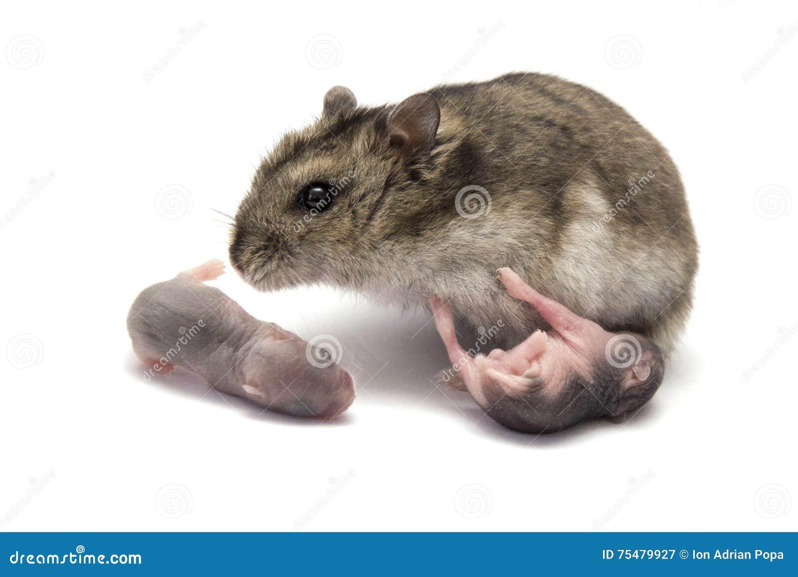 Vrouwelijke hamster met zijn nieuwe baby geboren hamsters