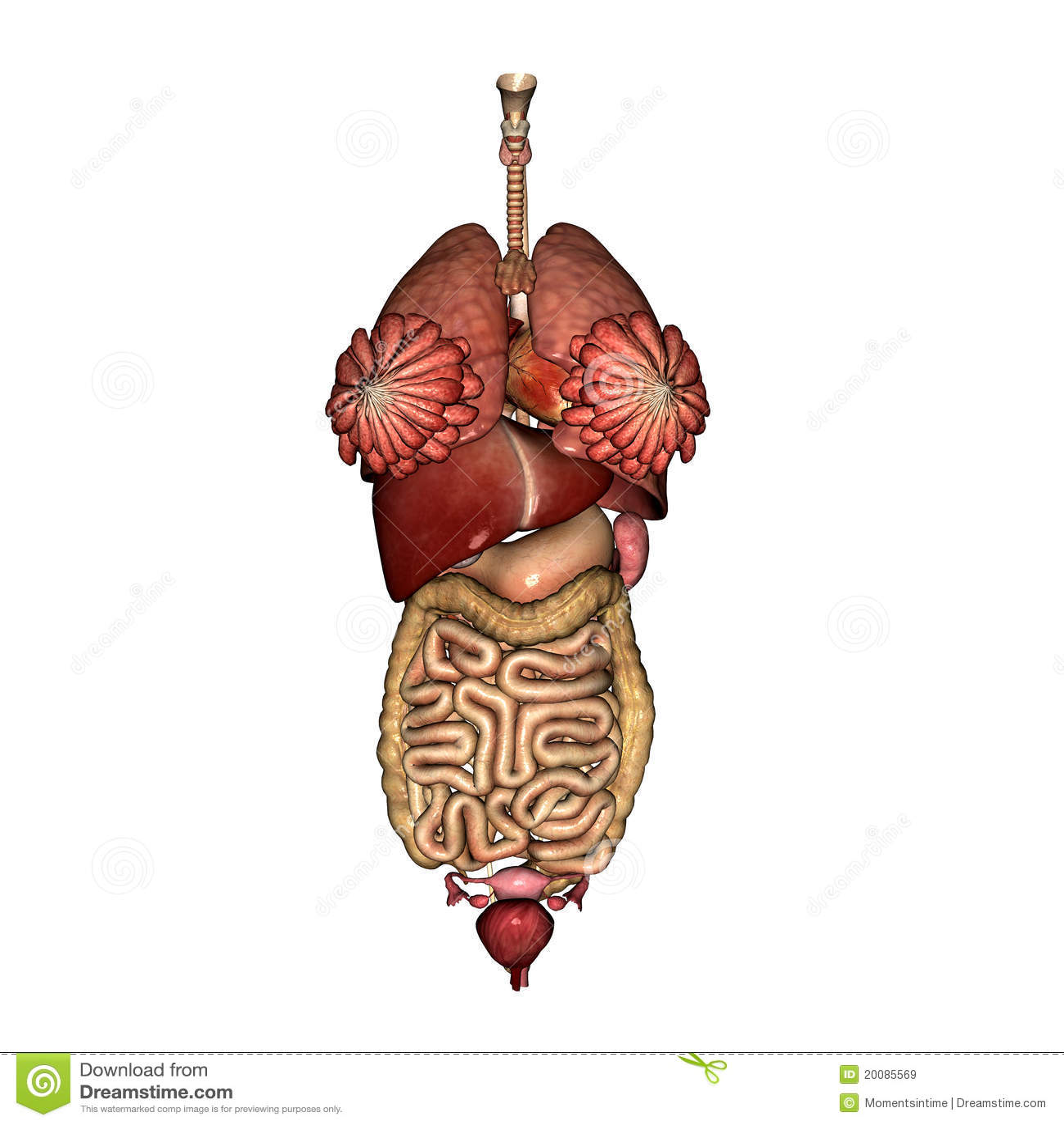 Vrouwelijke Interne Anatomie
