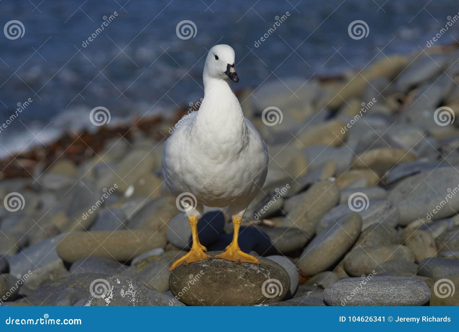 Download Vrouwelijke Kelpgans Op Falkland Islands Stock Afbeelding - Afbeelding bestaande uit rots, wildernis: 104626341