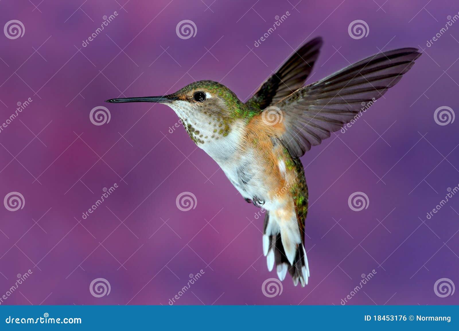 Vrouwelijke rufous Kolibrie