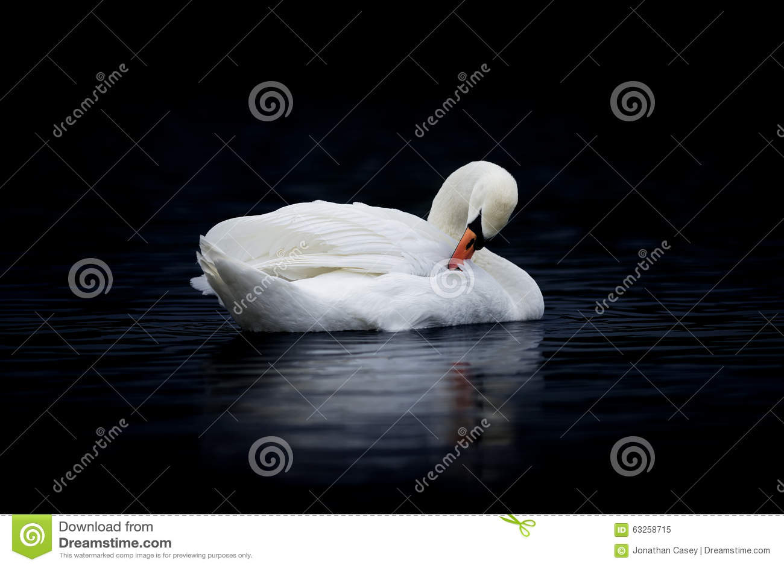 Vrouwelijke Stodde Zwaan die op Donker Water gladstrijken