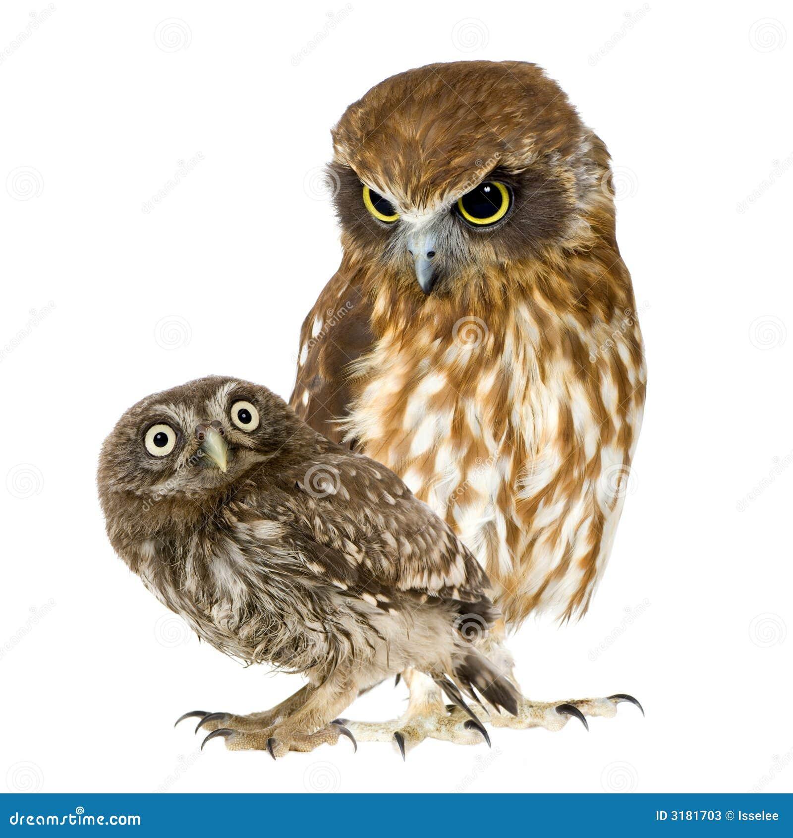 Vrouwelijke uil en een jonge uil