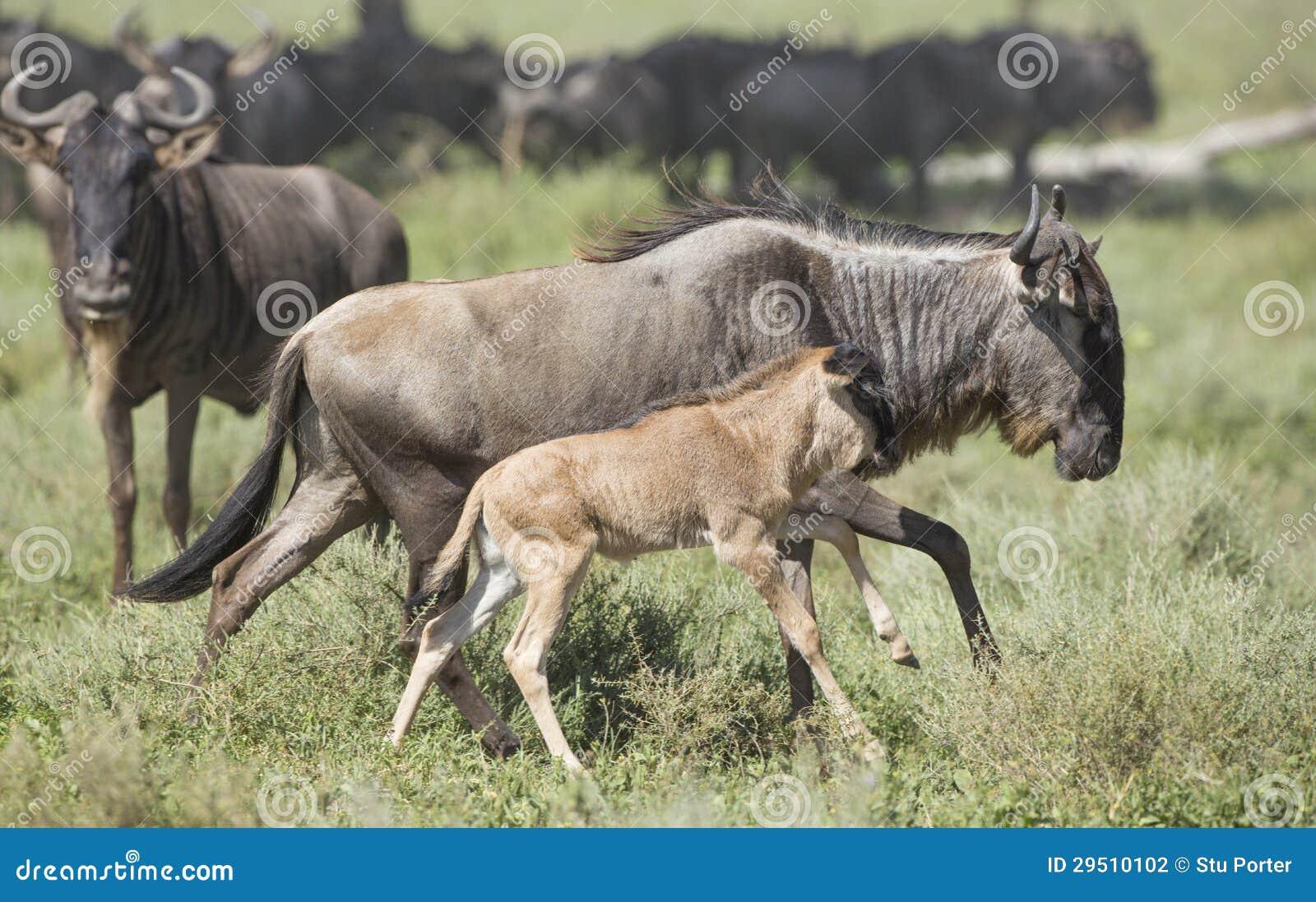 Vrouwelijke Witte Gebaarde Wildebeest die met zijn nieuw lopen - geboren kalf,
