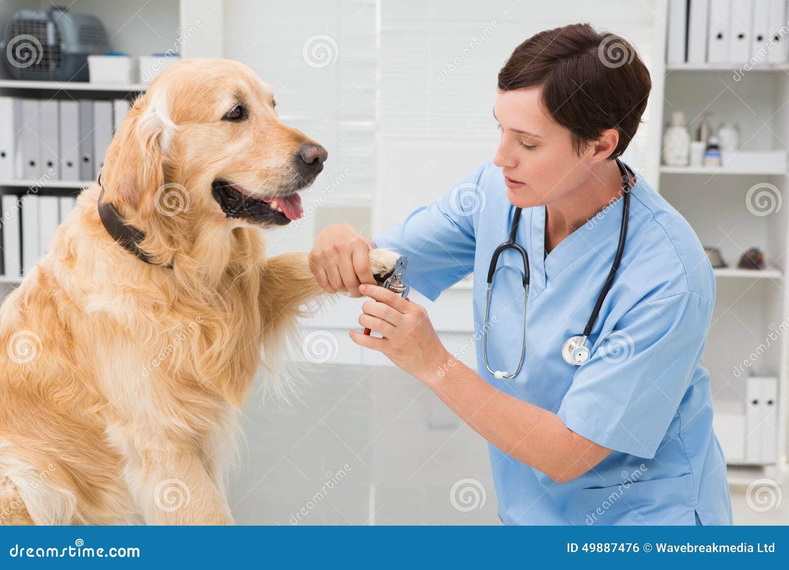 V t rinaire l 39 aide du coupe ongles sur un chien photo stock image 49887476 - Couper les ongle d un chien ...