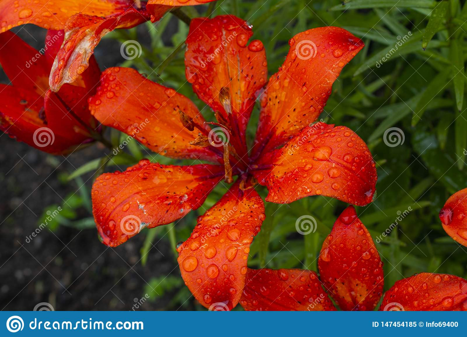Vue étroite de fleur rouge sauvage de fleur fraîche colorée