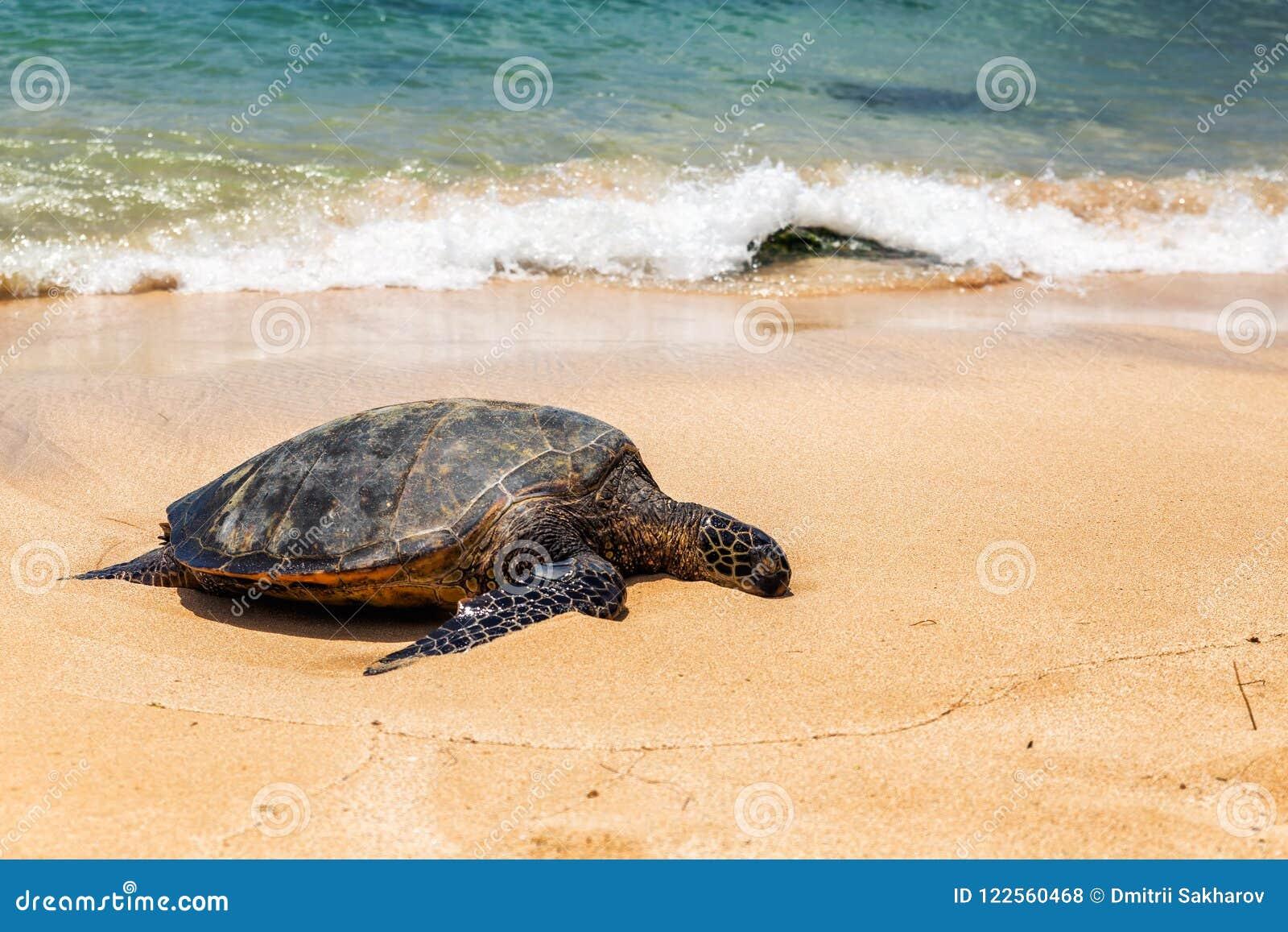 Vue étroite de tortue de mer se reposant sur la plage de Laniakea un jour ensoleillé, Oahu