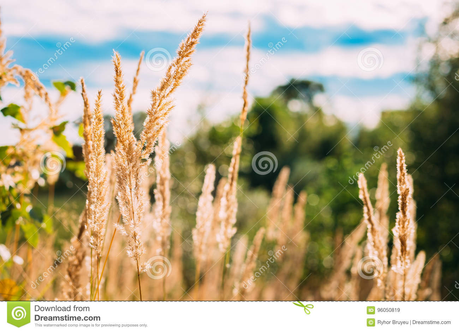 Vue étroite des épillets secs par jaune de l herbe sauvage en Autumn Sunny