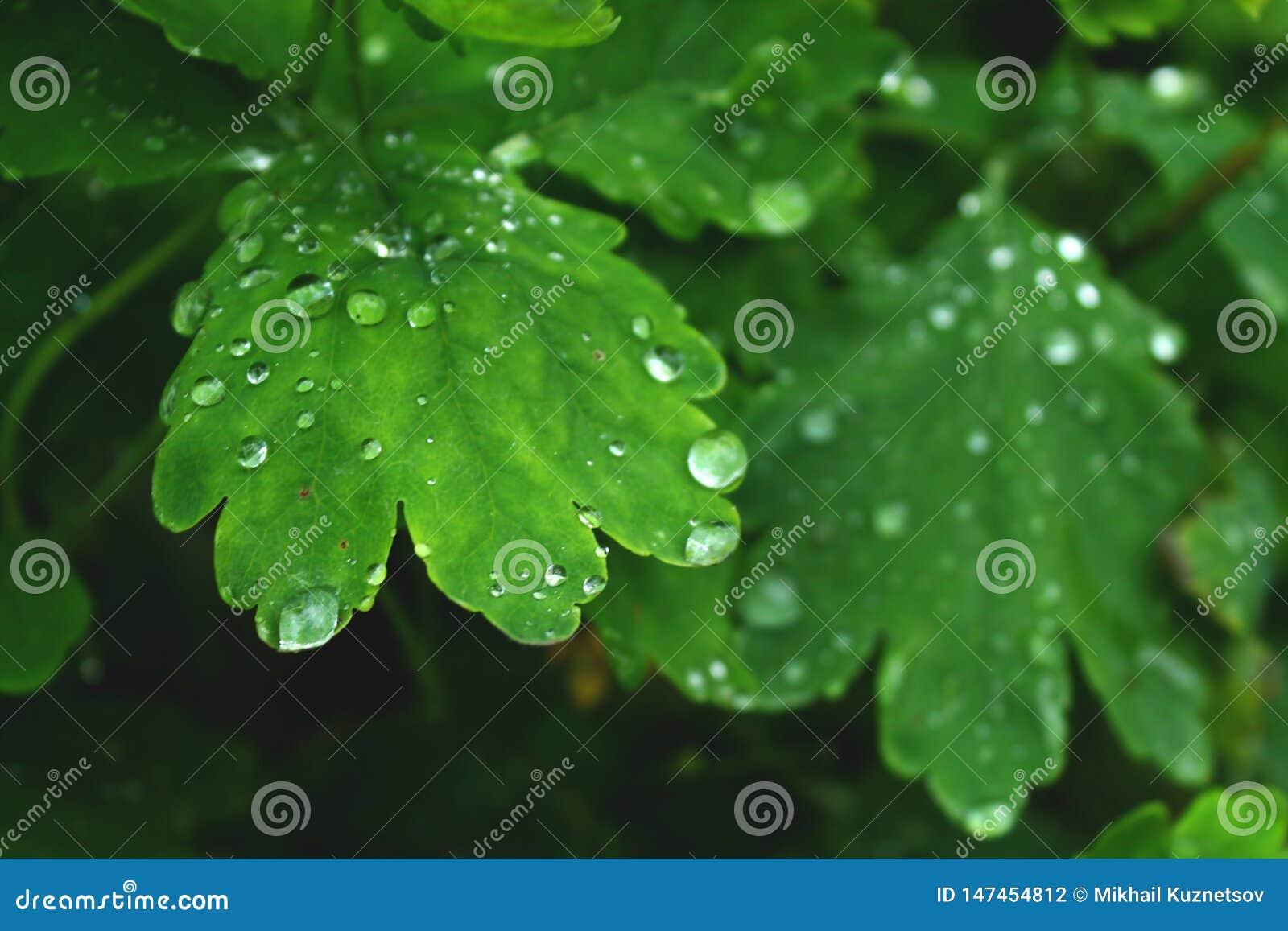Vue étroite sur la feuille verte fraîche avec des baisses de l eau