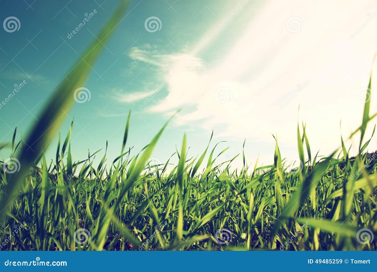 Vue d angle faible d herbe fraîche contre le ciel bleu avec des nuages
