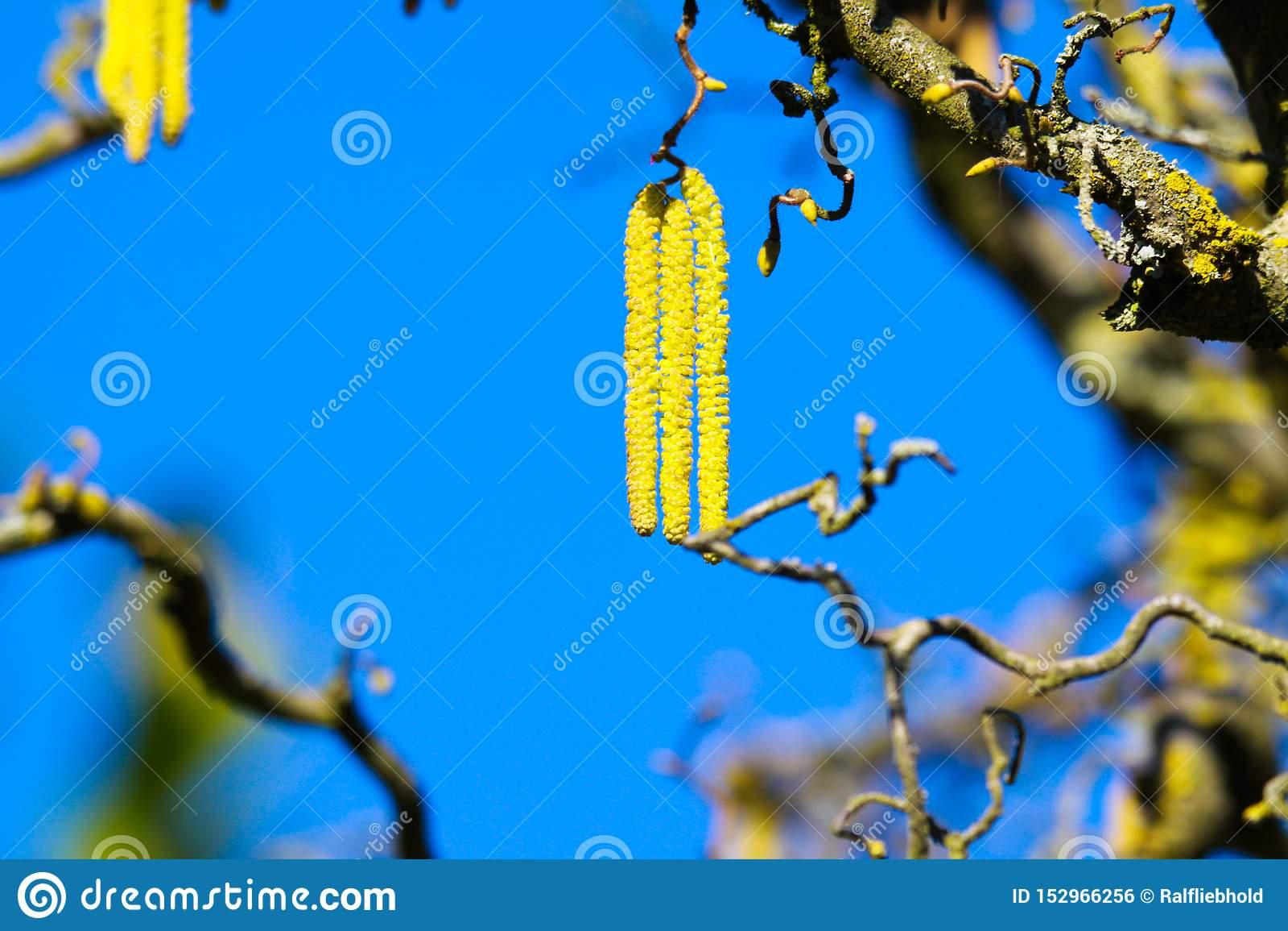 Vue d angle faible sur les chatons jaunes sur les branches nues tordues couvertes de parietina orange de Xanthoria de lichen de v