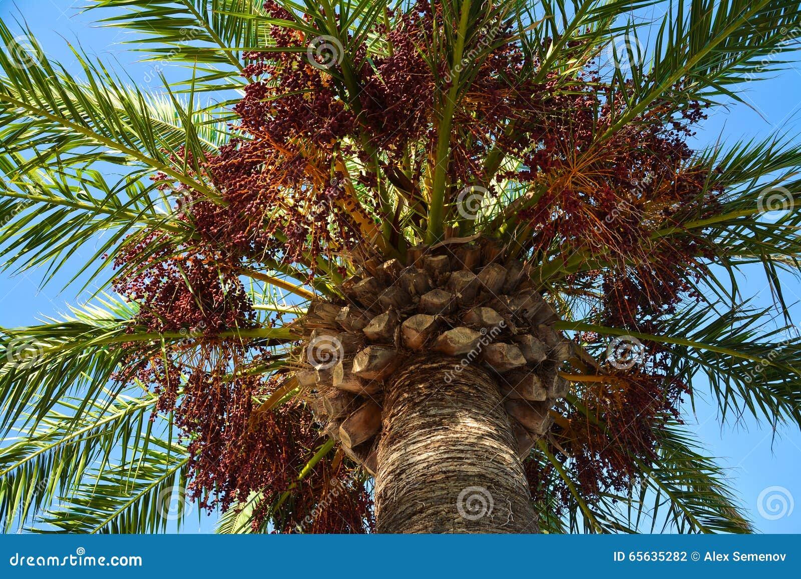 Vue d un palmier de bas en haut - des feuilles et des groupes de fruit