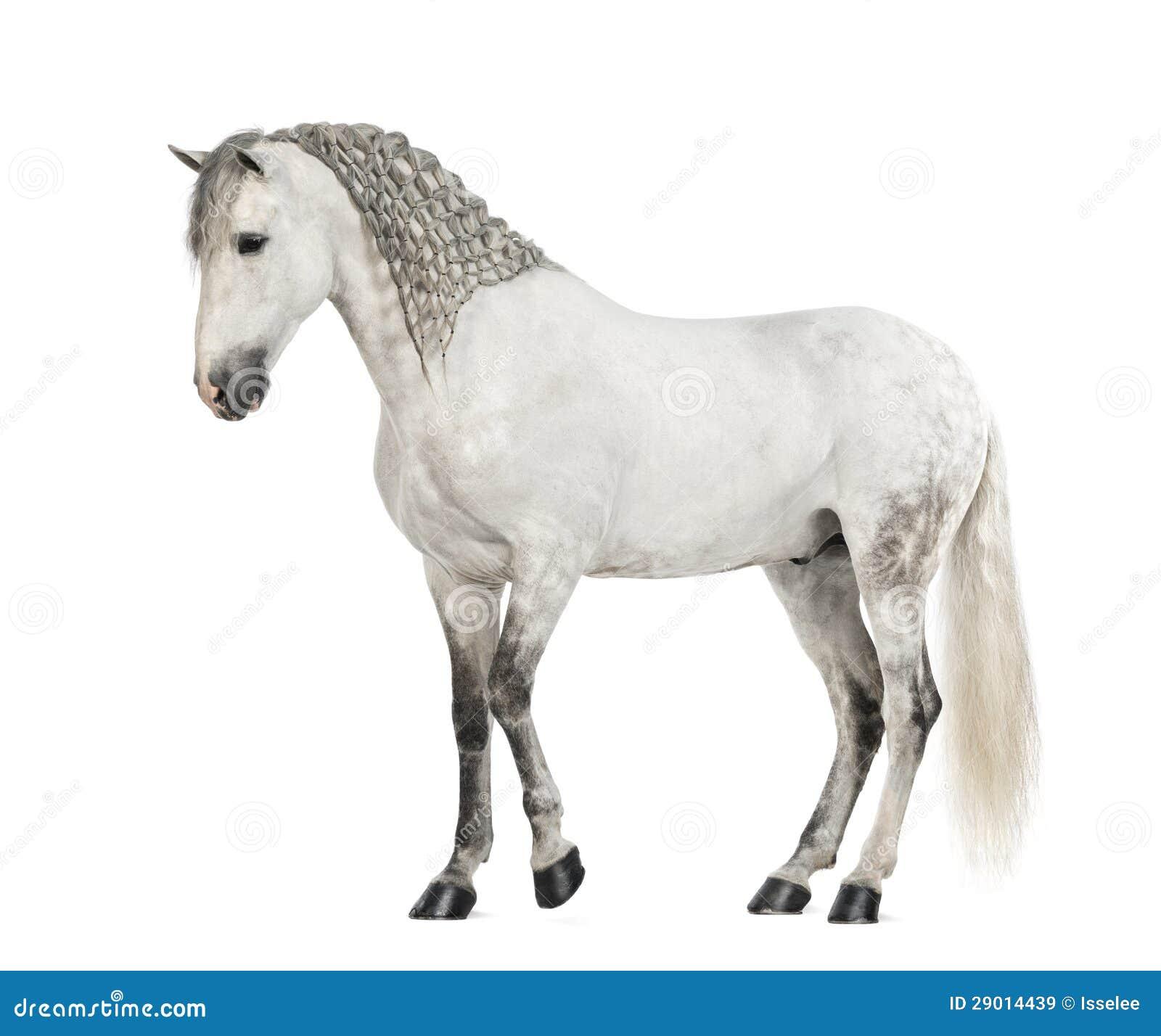 Vue de côté d un Andalou de mâle avec la crinière tressée, 7 années, également connues sous le nom de cheval espagnol pur ou PRÉ