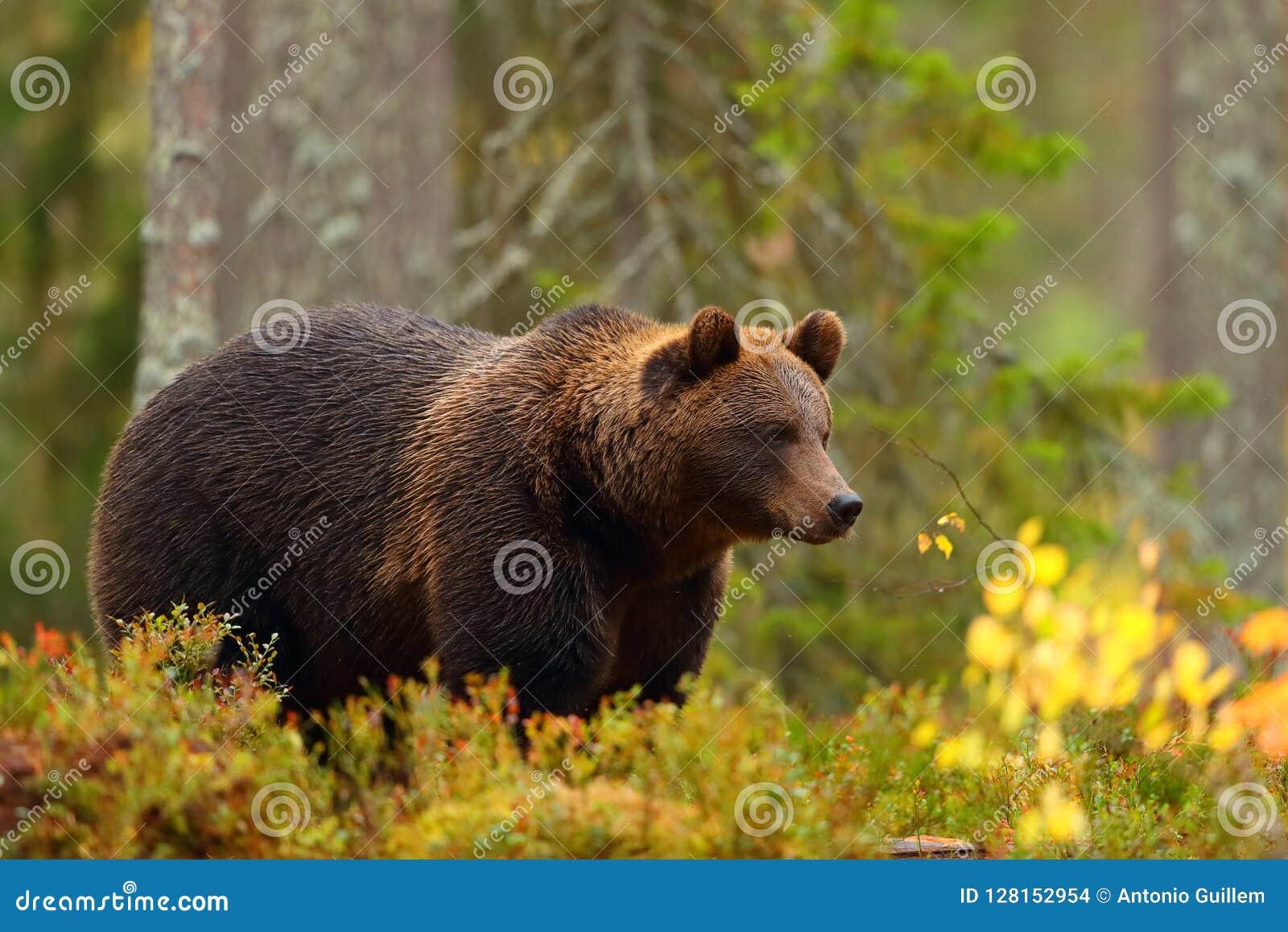 Vue de côté d un ours brun dans une forêt dans l automne