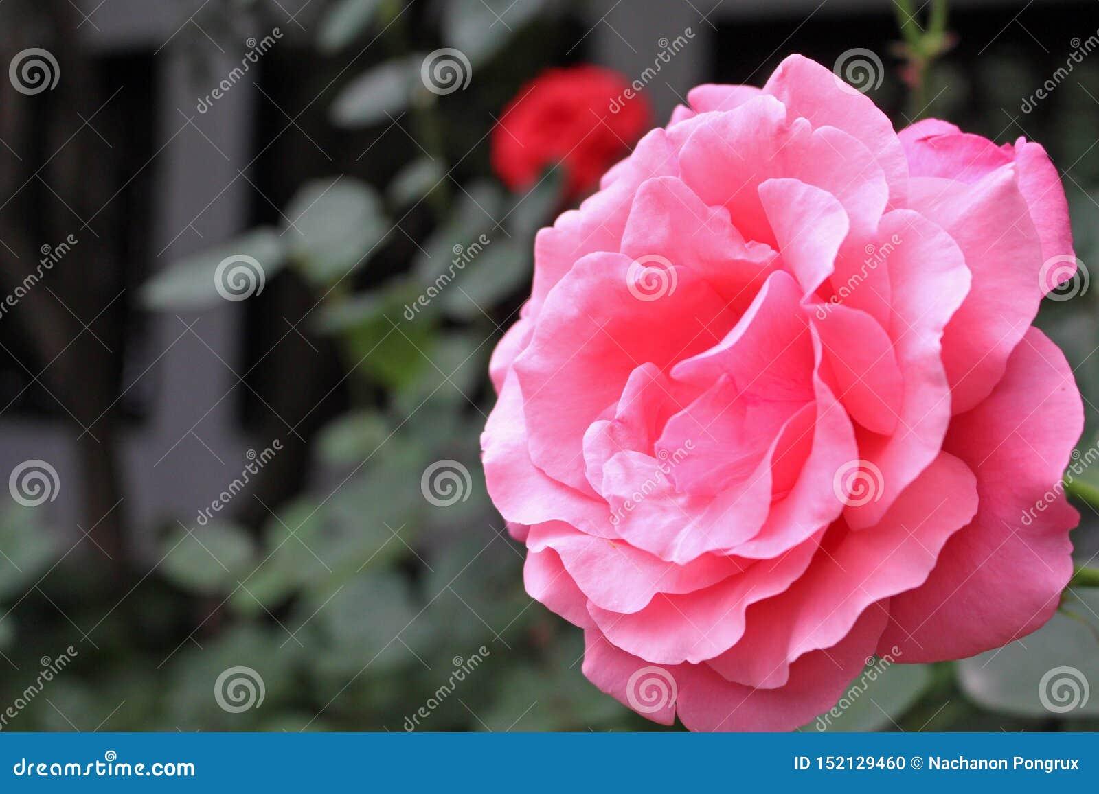 Vue de côté de fleur rose rose dans le jardin de la Chine