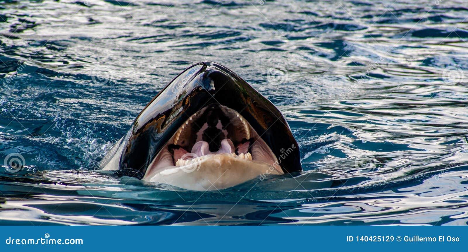 Vue de détail d une orque avec la bouche ouverte