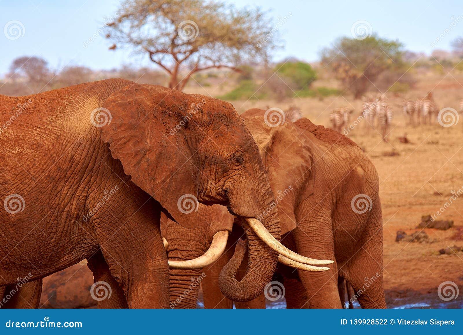 Vue de deux éléphants et de zèbres brouillés à l arrière-plan Parc national de Tsavo au Kenya, Afrique Ciel bleu et sable rouge
