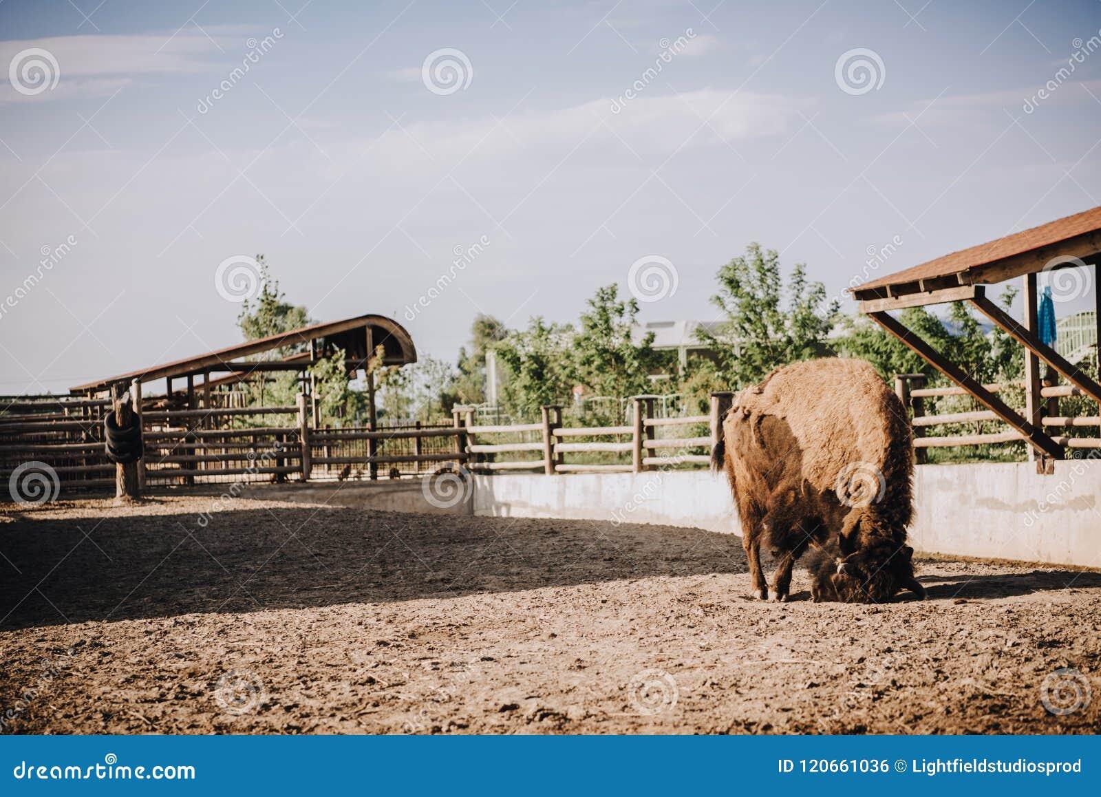 Vue de face de bison dans le corral