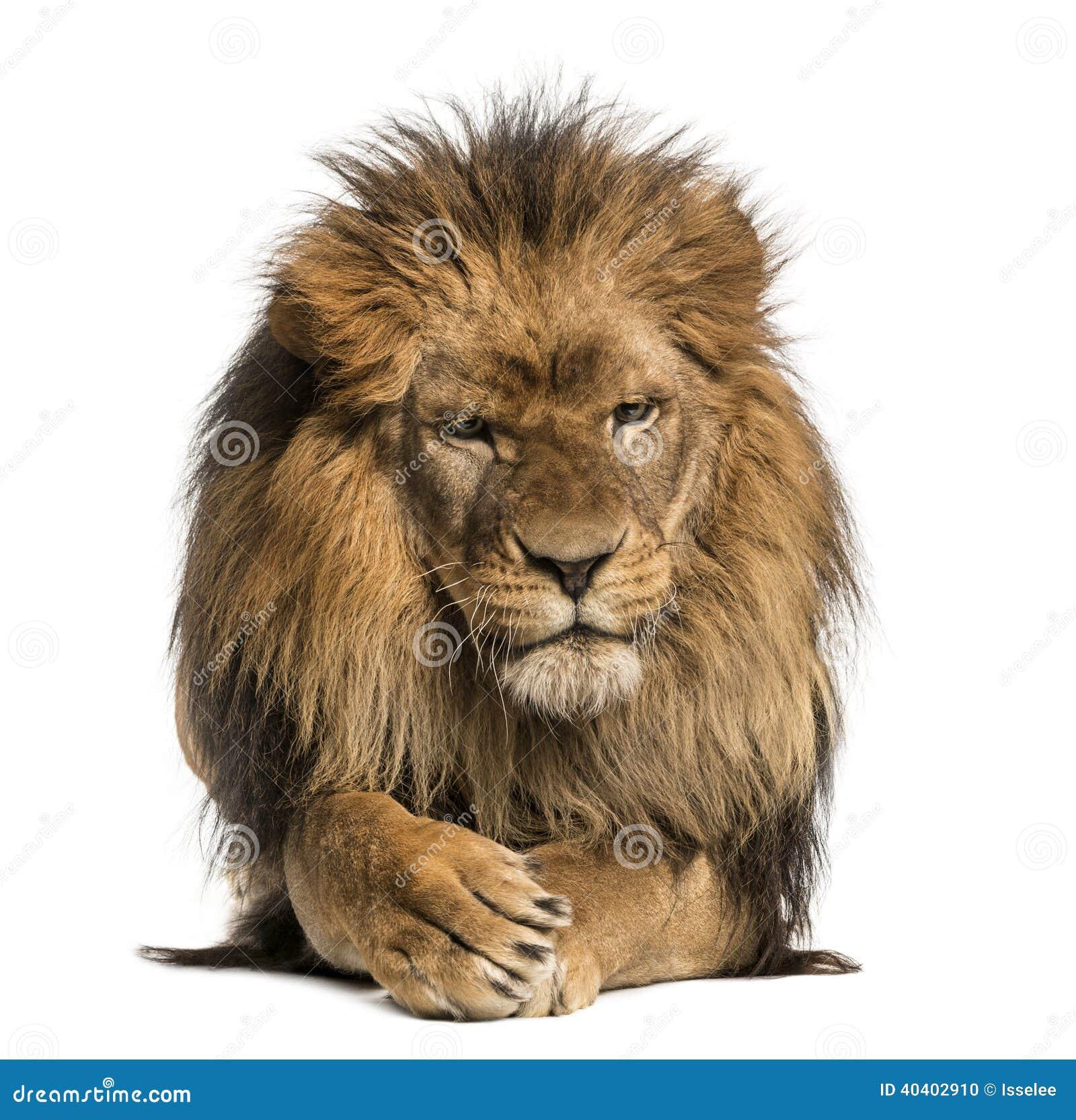 vue de face d 39 un lion se trouvant pattes de croisement panthera lion photo stock image 40402910. Black Bedroom Furniture Sets. Home Design Ideas