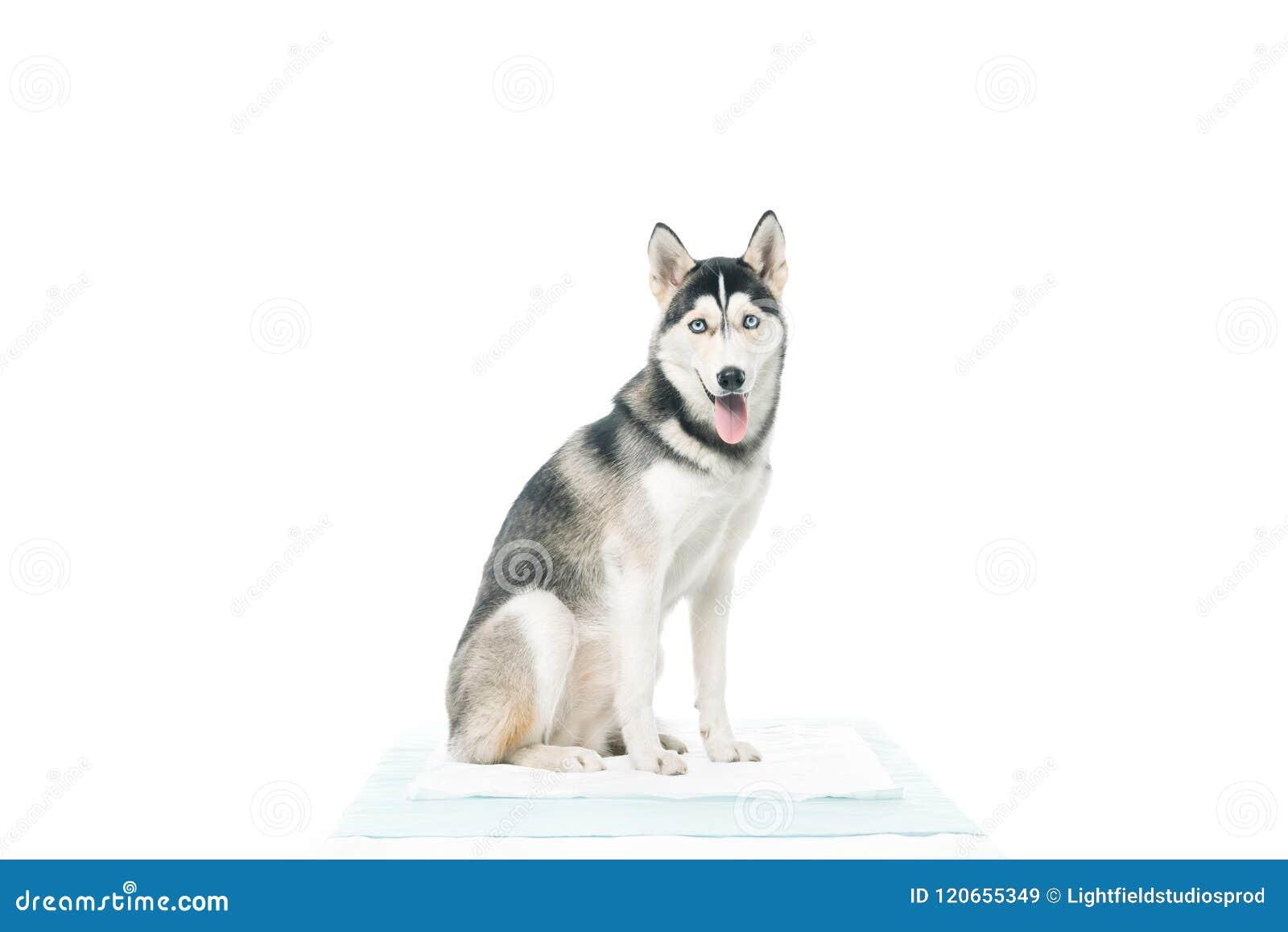 Vue de face de la séance mignonne de chien