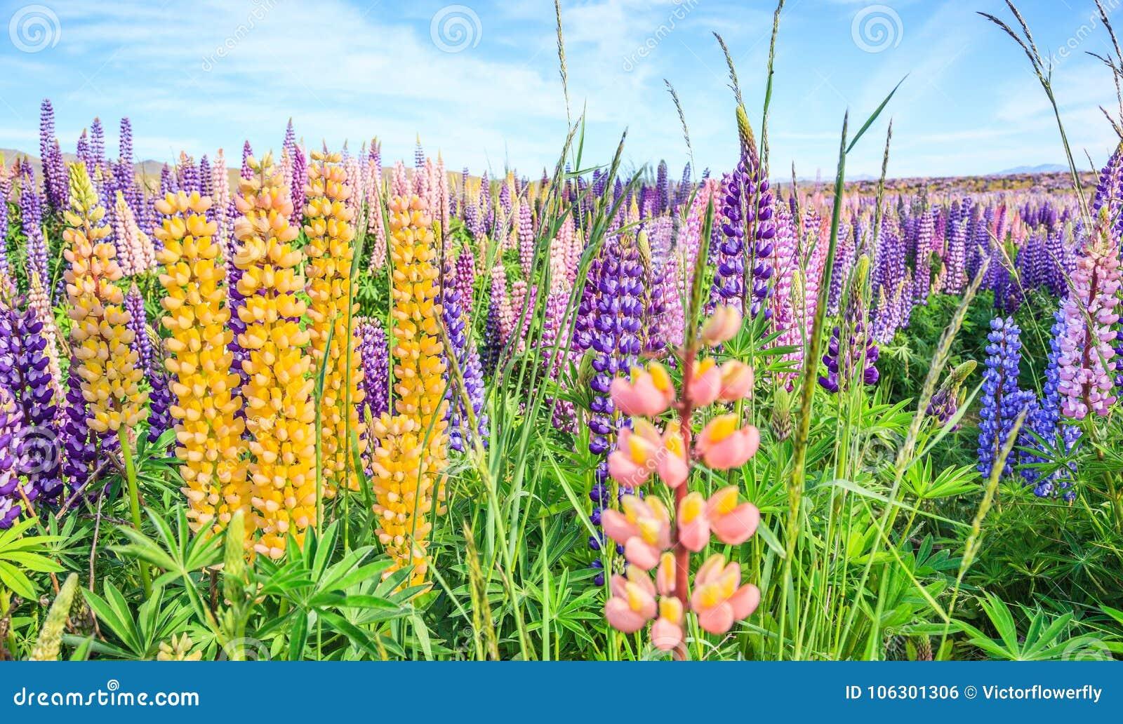 Vue De Gisement De Fleur De Lupin Pres De Paysage De Tekapo De Lac