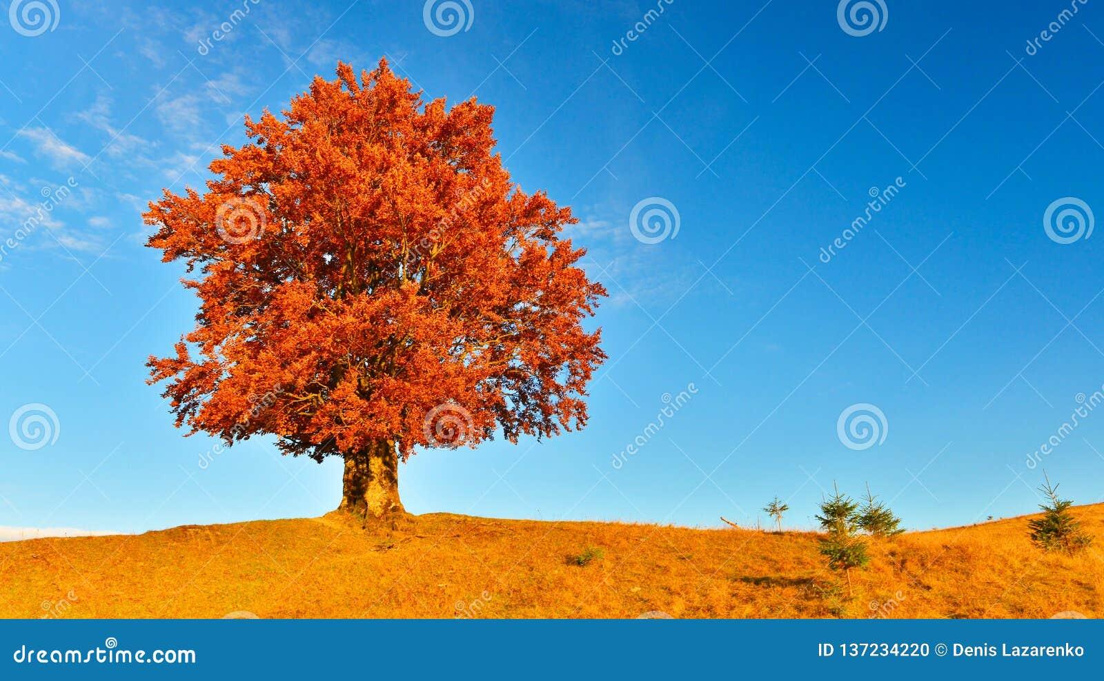 Vue de haut, vieux, puissant hêtre en montagne d automne