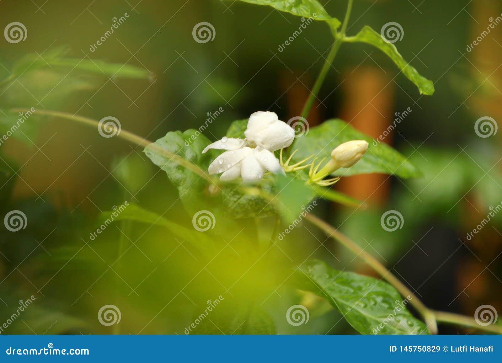 Vue de nature de plan rapproch? de fleur de jasmin dans le jardin ? l ?t? sous la lumi?re du soleil