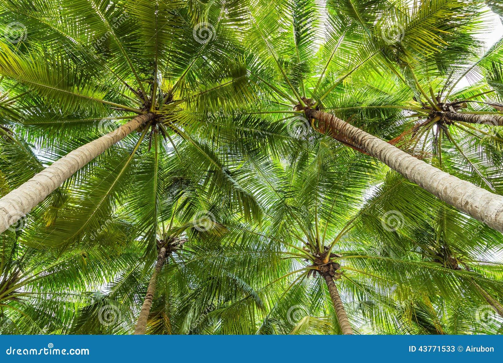 Vue de perspective de palmier de noix de coco photo stock - Palmier noix de coco ...