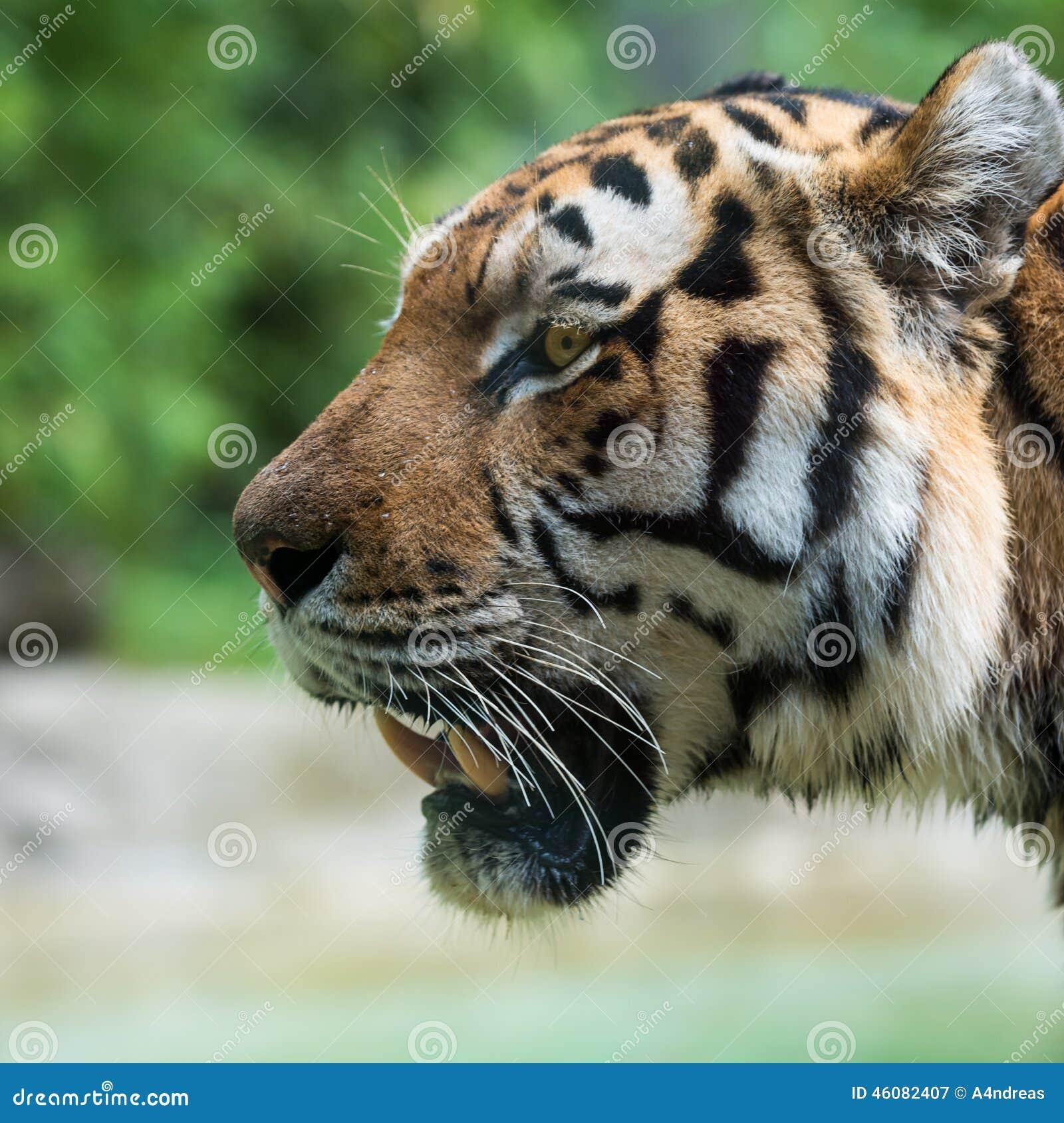 Vue de t te de tigre du c t image stock image du visage - Image tete de tigre ...