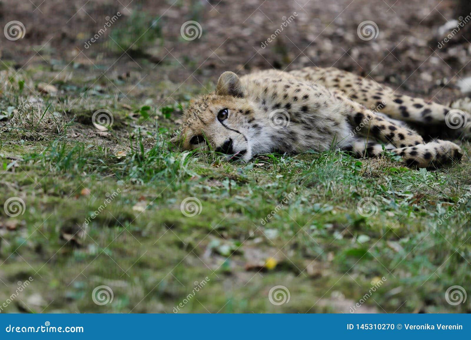 Vue du grand chat de gu?pard des felinae de subfamily