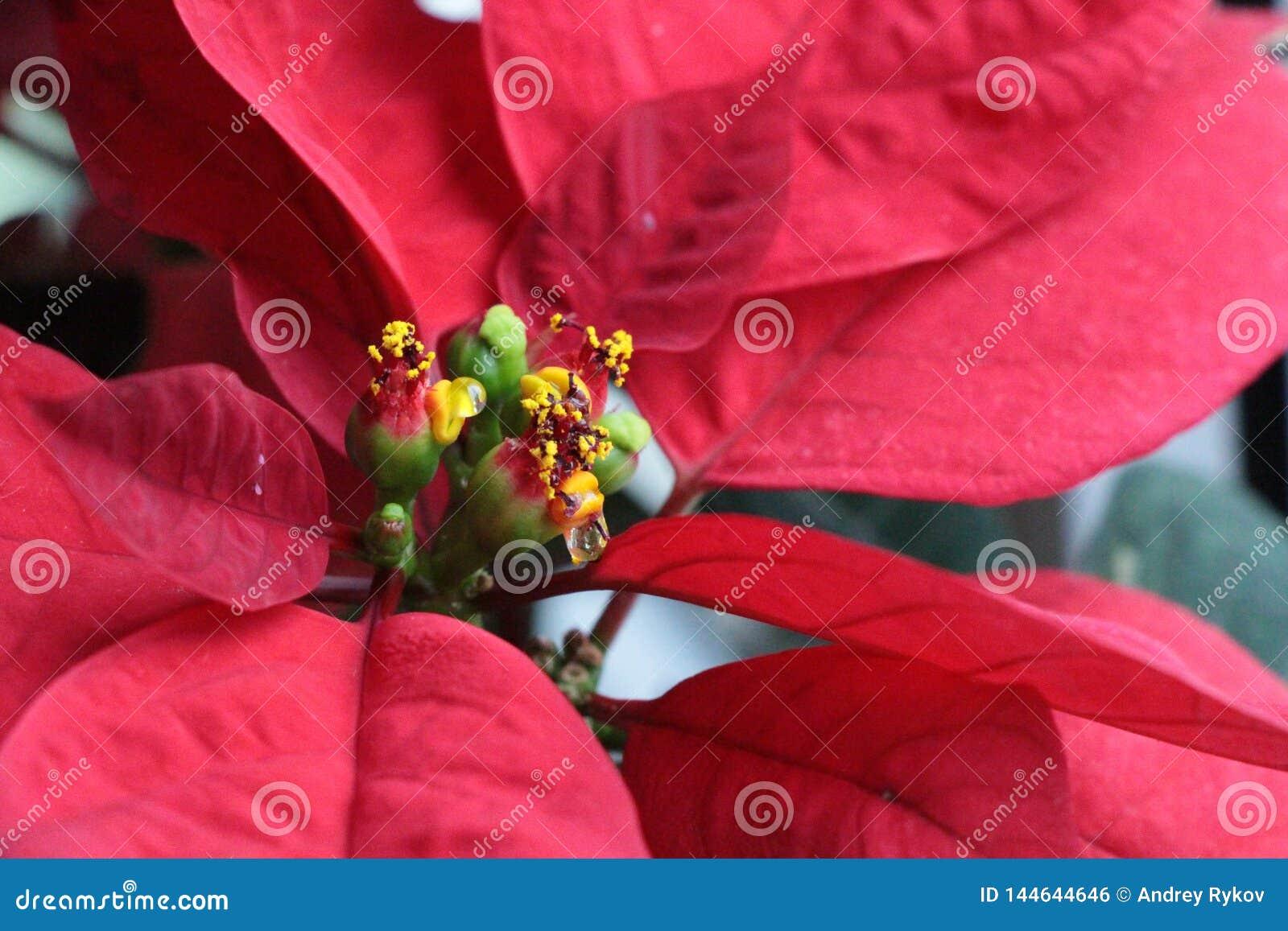 Vue en gros plan des fleurs de poinsettia