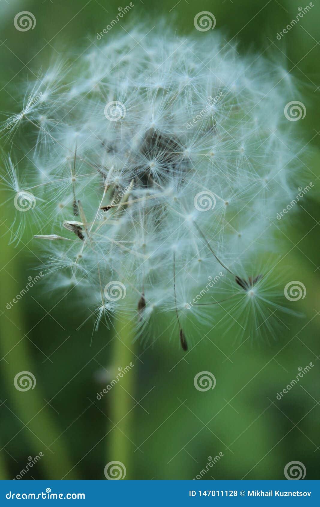 Vue haute étroite de la fleur blanche de pissenlit