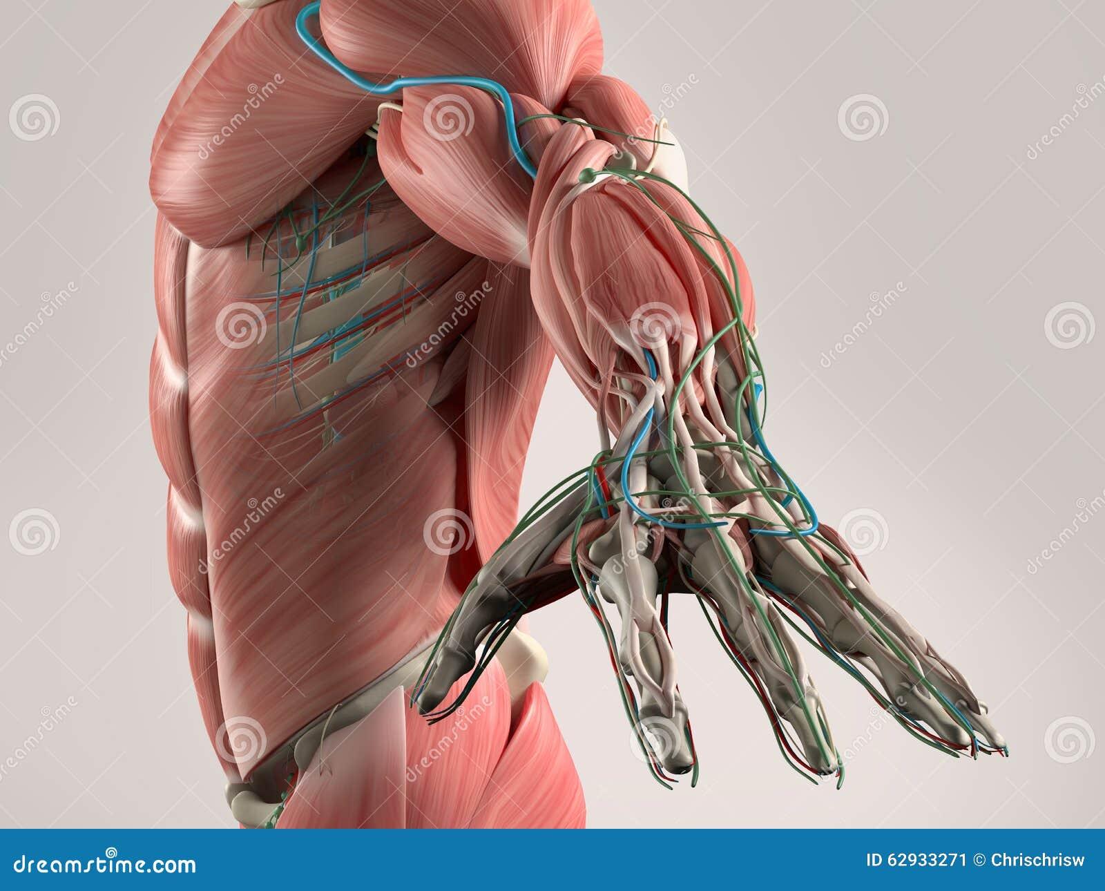 Vue humaine d anatomie de torse et de bras