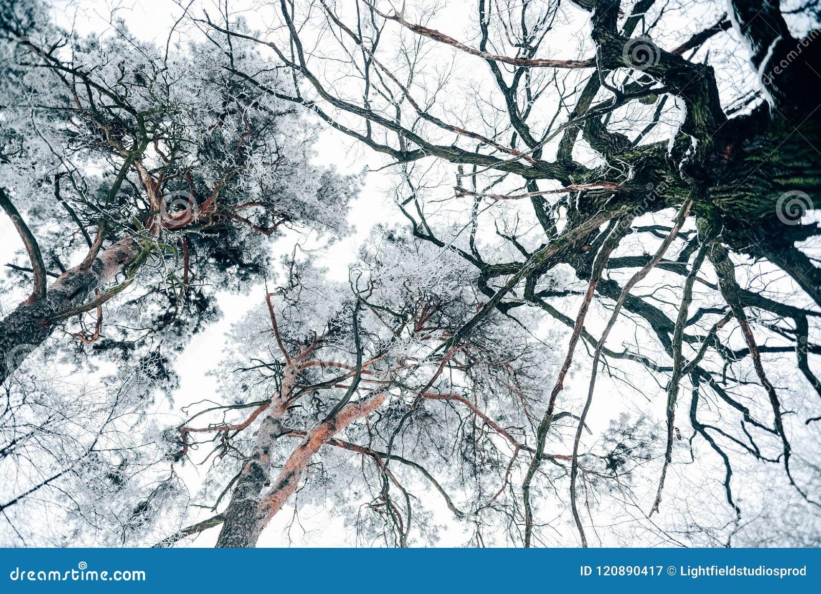 Vue inférieure de belle forêt d hiver d arbres contre le blanc