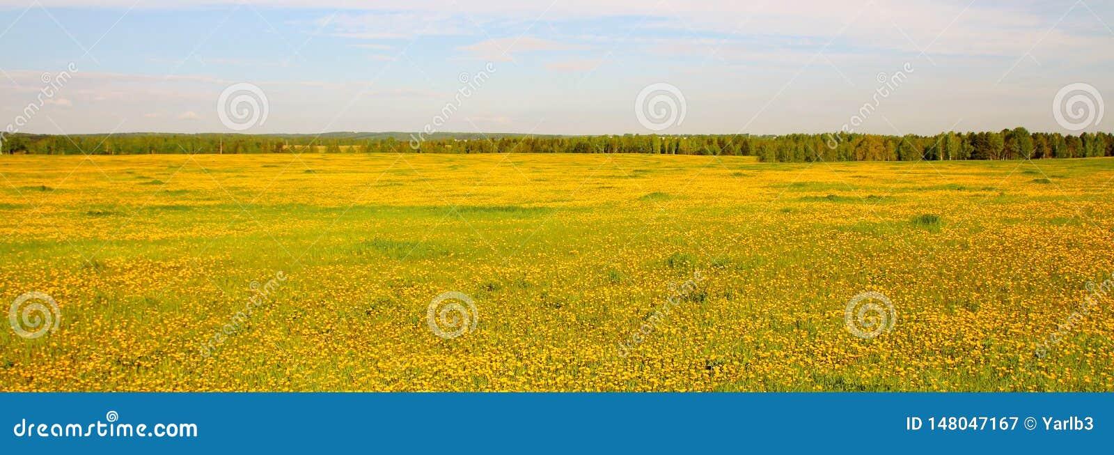 Vue large du champ fleurissant jaune