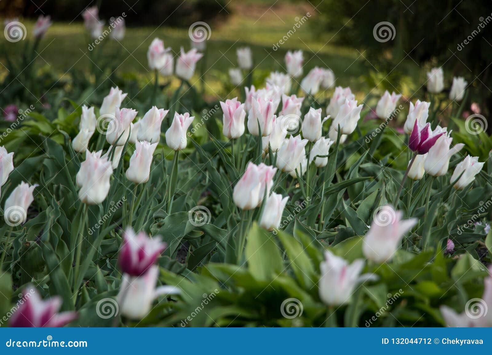 Vue naturelle des fleurs de tulipe fleurissant dans le jardin avec l herbe verte Nature, ressort